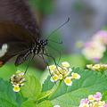 Photos: モンキアゲハ 花から花へ