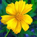 Photos: 黄色い野の花