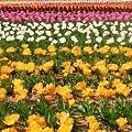 高原の春70万本のチューリップたち