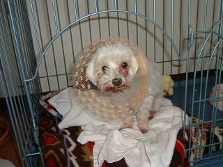 Photos: 07101601犬の歯槽膿漏が爆発
