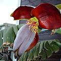 Photos: 宮崎バナナの花