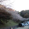 おばら四季桜まつり(桜3)