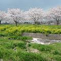 筑前町草場川の桜並木(3)