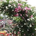 Photos: つるバラ・サマー・スノー  大きな花束