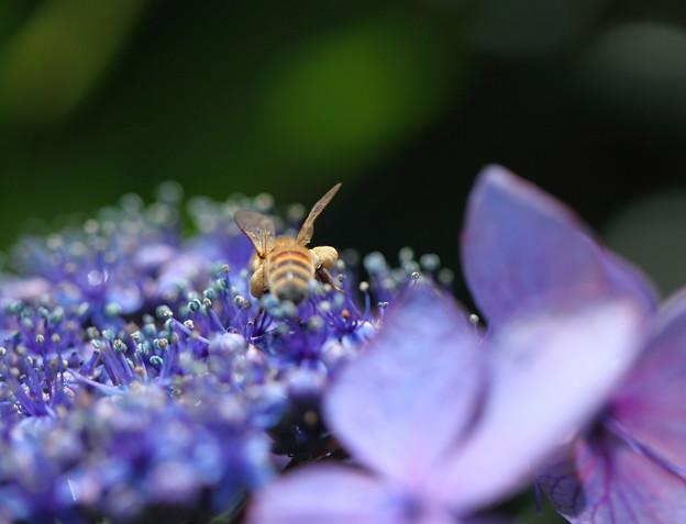 Photos: アジサイと蜜蜂