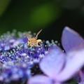 アジサイと蜜蜂