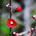 木瓜(ボケ)が一輪開花(3)