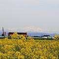 菜の花畑(2) 白山を背景に 国道とバス