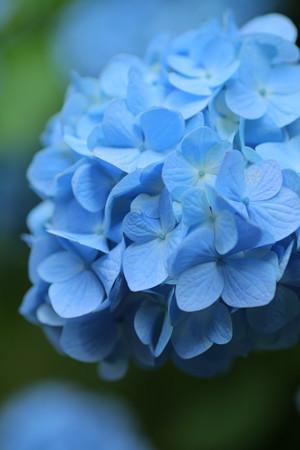 明月院ブルー(3)