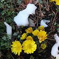 Photos: 残雪に咲く福寿草
