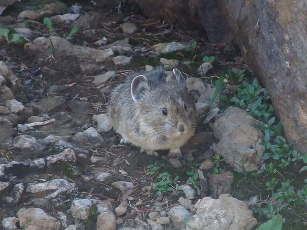 Photos: ナキウサギ