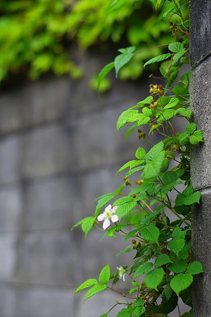 白い花咲く