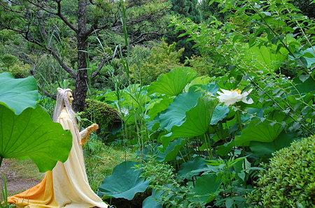 白い蓮が咲いてた
