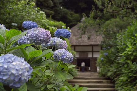明月院の紫陽花 03