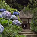 写真: 明月院の紫陽花 03