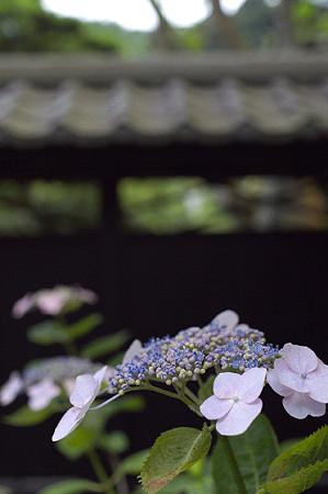 東慶寺のアジサイ 04