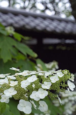 東慶寺のアジサイ 05