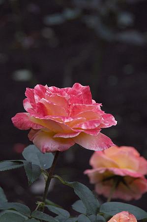 こども植物園のバラ 01